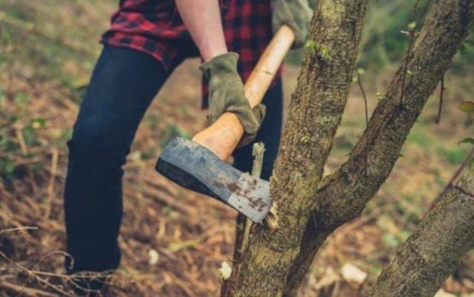 Nazirlik Bakıda ağacların kəsilməsi ilə bağlı araşdırmaya başladı